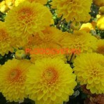 Хризантема корейская Венди еллоу. 70/8. Август. Идеальна для срезки.