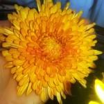 Хризантема корейская скифское-золото