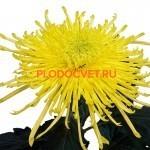 пноцветковая ·Спайдер Еллоу (Spider Yellow)