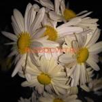 Хризантема корейская Весела