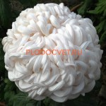 Хризантема Виена белая