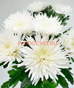 крупноцветковая хризантема Анастасия Белая.