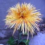 Хризантема горшечная Самурай