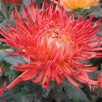 Хризантема горшечная Азади