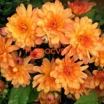 Хризантема мультифлора шаровидная Хризантема мультифлора Бранбич оранж