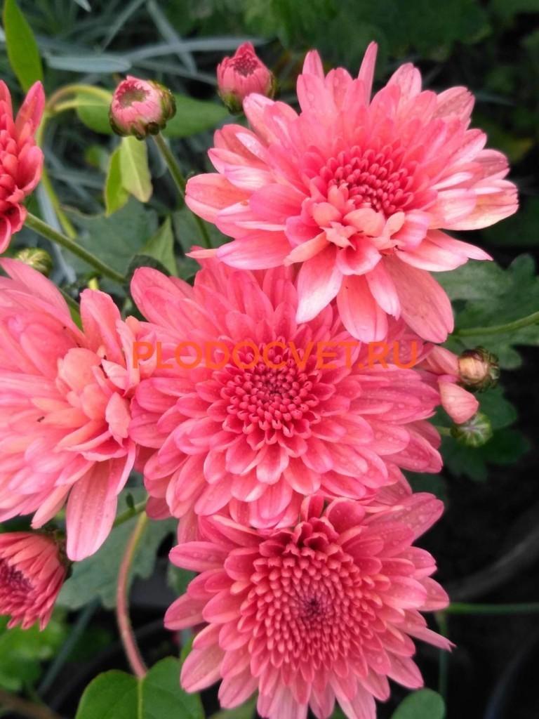 Хризантема мультифлора шаровидная