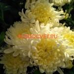 Хризантема горшечная Ажелас Джуни