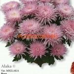 Хризантема горшечная Алака.
