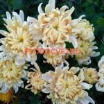 Хризантема горшечная Оклаир розе,