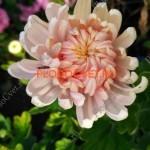 Хризантема Оклаир розе,