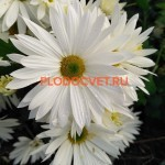 Хризантема горшечная Брезе сноу