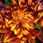 Хризантема горшечная Пассион руж ет ор