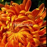 Хризантема горшечная Пассион руж ет ор ,