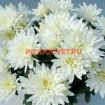 Хризантема горшечная Смола вайт