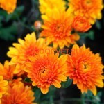 Хризантема мультифлора Виваро оранж. Август.