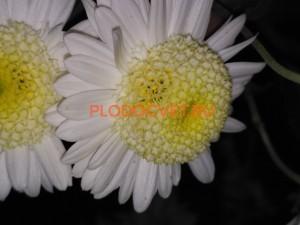 Хризантема Горный хрусталь