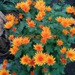 Хризантема Изольда оранж усл.