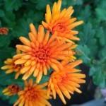 Хризантема Изольда оранж усл