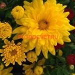 Хризантема мультифлора Майями лимон,