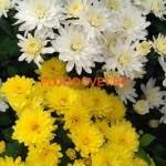 Хризантема мультифлора Мередиан белый и Бигли еллоу
