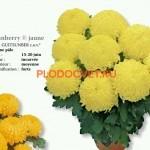 Хризантема горшечная Сунбери