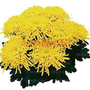 Хризантема горшечная Джокано