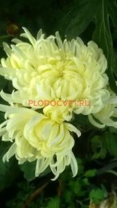 Хризантема горшечная