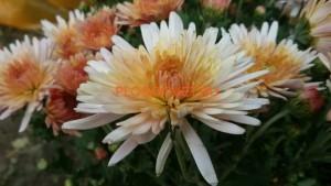 Хризантема горшечная Амалфи