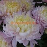 Хризантема горшечная Росе Дюне Нуит