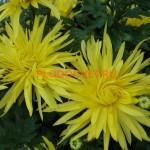 Хризантема горшечная Пантин Желтый