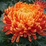 Хризантема горшечная Тонио