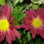 Хризантема горшечная Райбон Канди