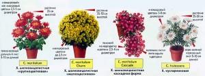 Хризантемы для комнат