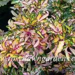 772. SparklerАмериканские вегетативные колеусы