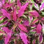 758. Pink Chaos Американские вегетативные колеусы