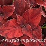 828. Autumn Американские вегетативные колеусы