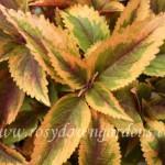 830. Zesty Zucchini Американские вегетативные колеусы