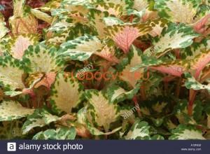 Rose Blush Американские вегетативные колеусы