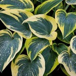 Хоста Фирст Фрост (Hosta hybride First Frost )