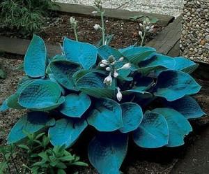 "Хоста ""Брессингэм Блю"" (Hosta hybrida Bressingham Blue)-"