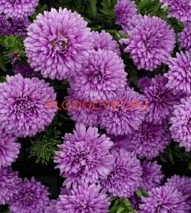 Астра мультифлора шаровидная высота 35см, цветение август