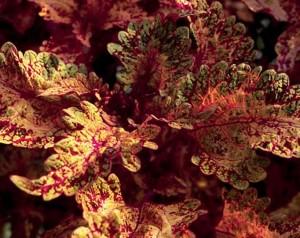 657. 'gold brocade' coleus