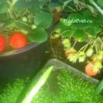 Клубника Пинк Панда, размер ягод