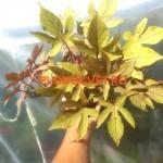 Illusion Garnet Lace Гранатовое кружево
