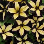 Вегетативная петуния Хамелетуния Йеллоу Стрипед (Chameletunia Black Yellow Striped)