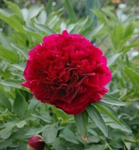 Пион officinalis Rubra Plena (Рубра Плена).
