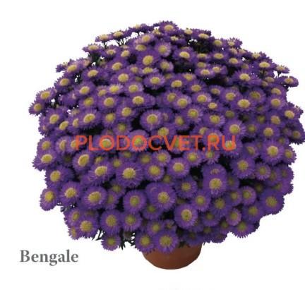 Bengale.