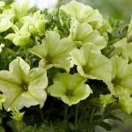 Вегетативная петуния Sunpleasure classic Utah lemon.