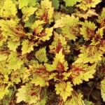coleus-color-clouds-honeybear- Американские колеусы