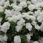 Petunia bViva Double White